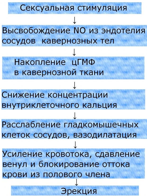 Схема возникновения эрекции