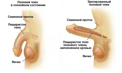 Физиология и патофизиология эрекции