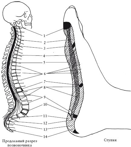 Соответствие участка стопы участку позвоночника