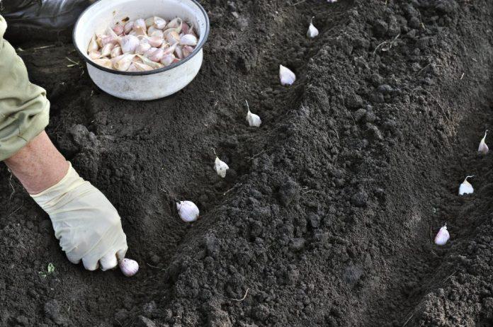 posadka osenyu v bashkirii 696x462 - Как и когда сажать чеснок под зиму осенью